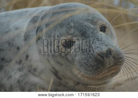 Common (Harbour) Seal Pup on Beach in Aberdeenshire, Scotland