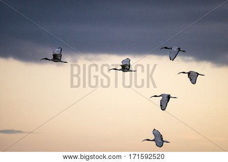 Flying Ibis On African Sky