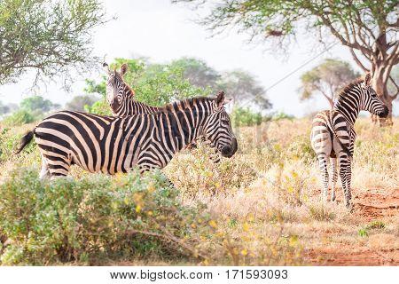 Zebras On Savanna, Kenya, East Africa