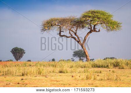 Acacia Trees On Savanna, East Africa