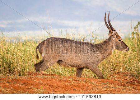 Waterbuck Antelope On Savanna