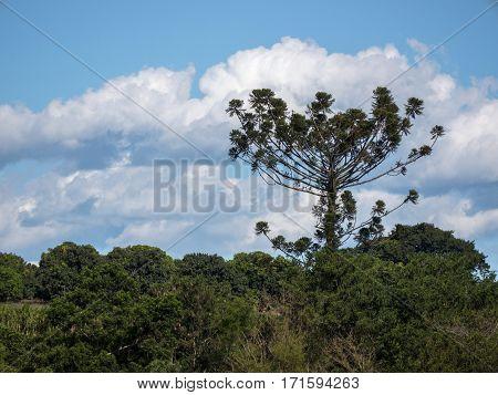 Araucaria tree (Araucaria angustifolia) profile pine coniferous nature
