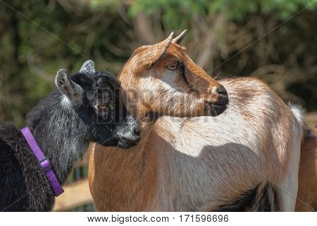 Small pet goats watching something in pasture.