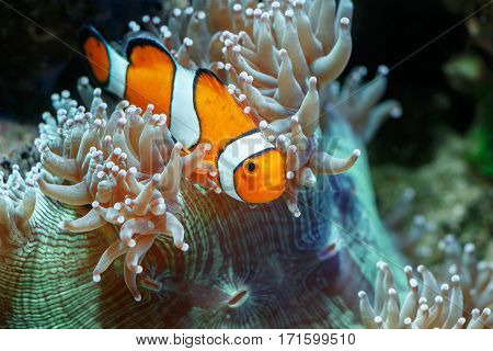 Wonderful and beautiful underwater world with corals and tropical fish. Photo of a tropical Fish on a coral reef. Underwater image of coral reef and Masked Butterfly Fish.