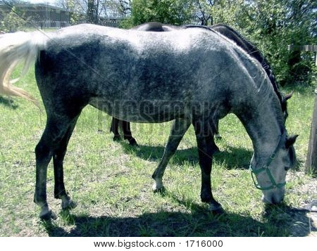 Dappled Grey Horses Grazing in the Sun