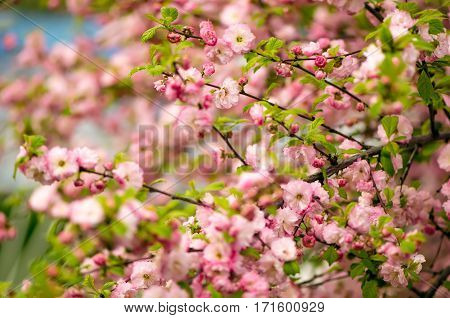 Prunus triloba (Louiseania) blossoms. Spring bush of almond with beautiful pink flowers. Nature background.