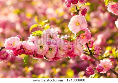 Prunus triloba (Louiseania) blossoms. Spring branch of almond with beautiful pink flowers.