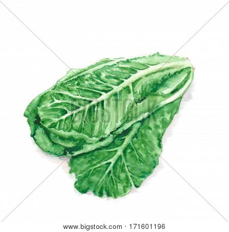 Hand drawn watercolor illustration of fresh green romaine lettuce leaves. Isolated on the white background. Vegetarian food product