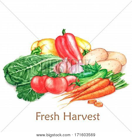 Hand-drawn watercolor illustration of the fresh harvest. Different vegetables, isolated on the white background. Tomatoes, carrots, lettuce, pepper, potatoes, cucumbers.