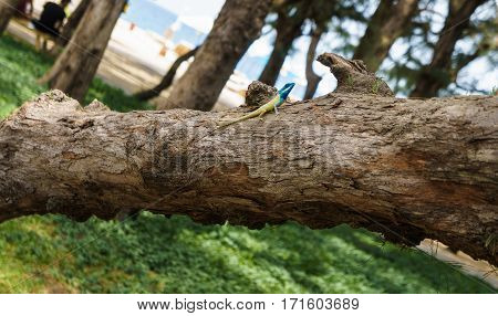 Blue-crested lizard on a tree looking away.