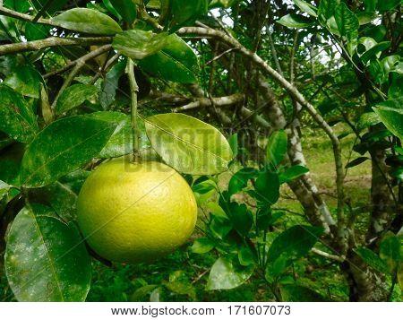 Unripe orange hanging on a tree in Belize