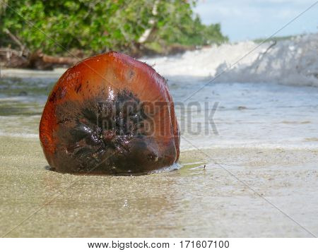 A weathered coconut on the shore of a beach in Hopkins, Belize
