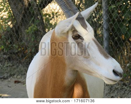A lone Oryx antelope looking off to the side