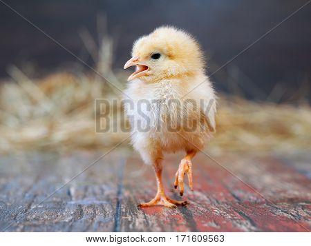 Chicken chick yellow. The beak is open paw raised
