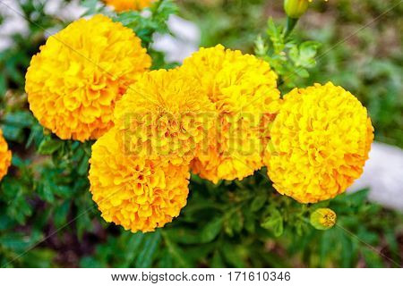 Blurred summer background with growing flowers calendula marigold. Sunny day
