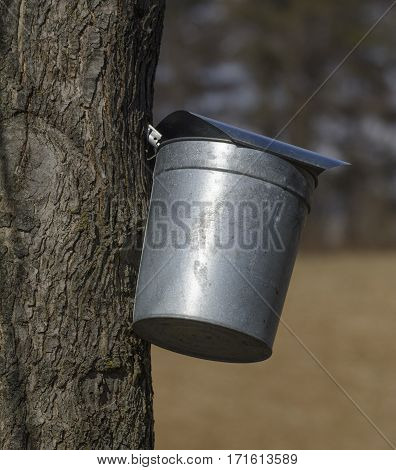 A traditional bucket collecting sap from a sugar maple tree.  The sap will be boiled down into Maple Syrup