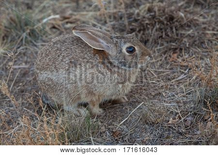 a cute cottontail rabbit in grass in fall