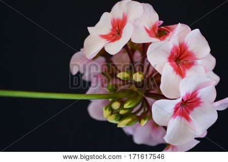 flowers are pink geraniums on a black background