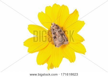 Moth sitting on a yellow flower on a white background isolated on white with copy space. Lepidoptera looking for nectar in the summer bloom. Design template for greeting cards.