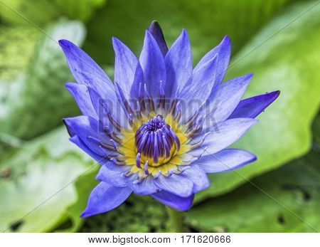 purple lotus flower near full bloom in dark pond with lilly pads
