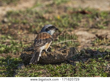Bay-backed Shrike Standing on a block of land