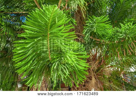 Close-up beautiful image of green prickly branches of Araucaria heterophylla
