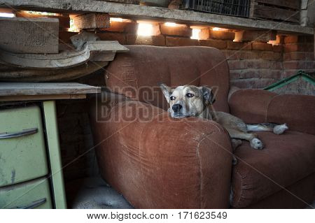the dog dozes in his armchair hearing sounds and glancing away