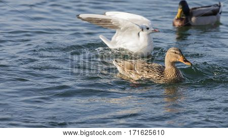 duck and seagull swimming on blue  lake