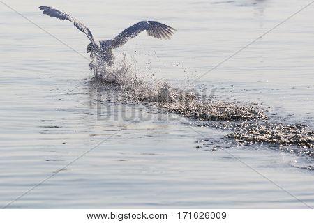 Swan Flying Skimming The Water On Lake
