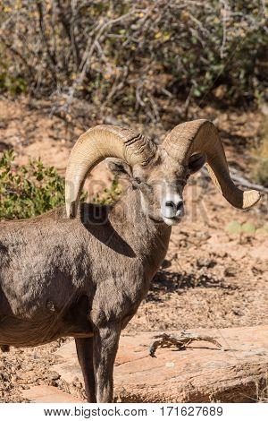 a nice desert bighorn sheep ram in fall in utah