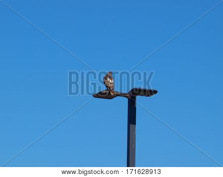 A Red Tail Hawk, larger than the Red Shoulder species, sits on an LED light pole proudly shows his red tail to the pigeons.