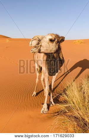 A camel in the Erg Chebbi desert in Morocco looks like it is laughing while it is eatign some grass.