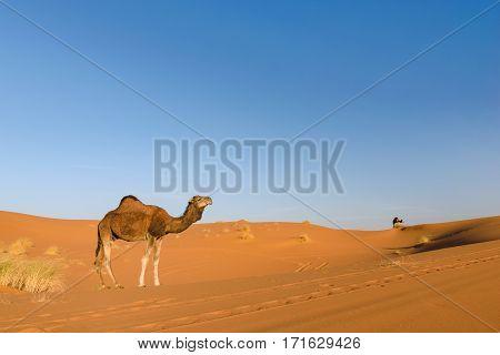 Dromedary standing in the desert of Erg Chebbi in Morocco.