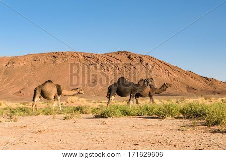 Three Arabian camels, Camelus dromedarius, walking in the landscape of Ouzina, Morocco.