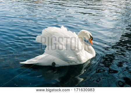 Graceful swan with outspread wings.  Close-up of a white Swan (Cygnus). Swans at the Lake.  Water Birds. Animals in the wild. Close-up of a passing Swan. Wildlife