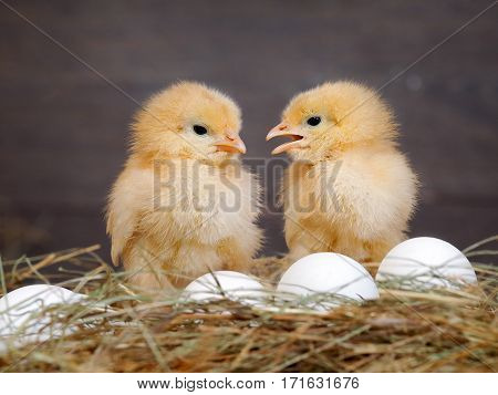 Newborn Chicks. Orange Chicks communicate with each other. Hay white eggs