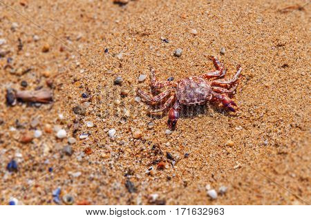 Death crab on beach close with pebble