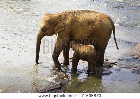 Family of Indian elephants. Pinnawela Elephant Orphanage on Sri Lanka