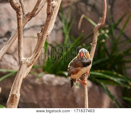 Zebra-finch (lat. Taeniopygia guttata) sitting on a branch