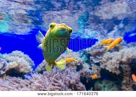 Close-up of a blowfish underwater. Yellow blowfish