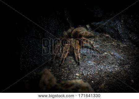 Close-up of a big tarantula. Spiders. Big Spiders