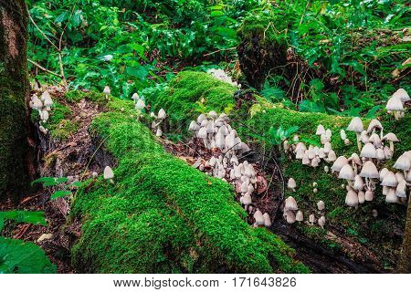 Big butch of mushrooms growing on the fallen tree covered with green moss.