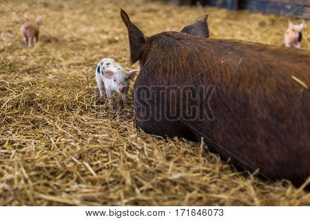 Small newborn piglet standing besides big mother pig in straw bedding at an animal farm