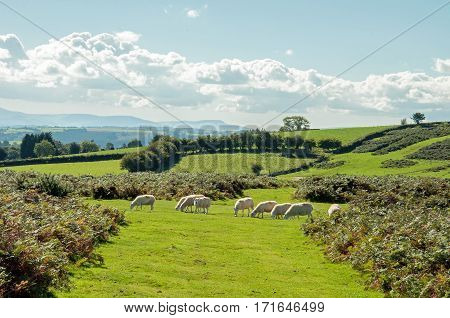 Sheep grazing in the hills of the Brecon beacons in Wales, UK.