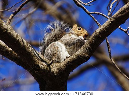 a grey squirrel with an acorn is sitting on a branch in the background blue clear sky a picture from Central Park in New York