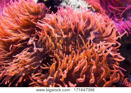 Clsoe-up of colorful sea anemones underwater. Anemones