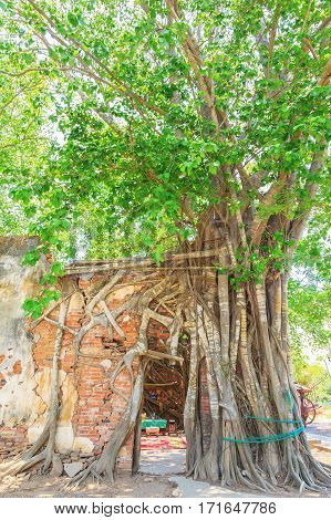 Big root tree cover historic of grunge brick wall temple