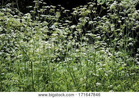 The Plant Hemlock Umbelliferae. Blossoming Small White Flowers Of The Field On A Background Of Blue