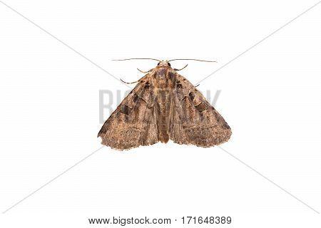 Moth isolated on white background, macro animal