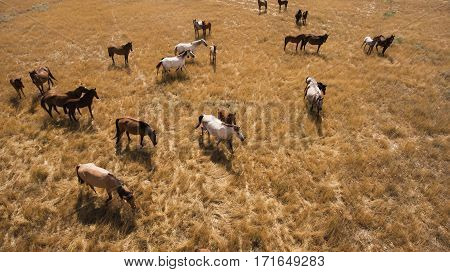Aerial photo from flying drone of a thoroughbred horse are grazing in Kazakhstan district in sunny summer day. Meadow with animals in countryside with dry climate in spring season. Concept environment
